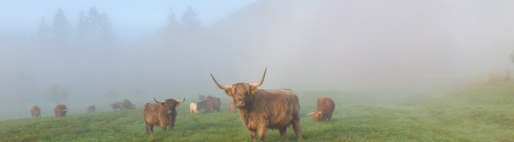 Highland-Cattle vom Oostal
